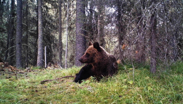 Медведи в Катунском заповеднике.