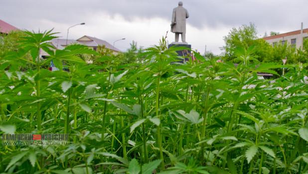 В центре Камня-на-Оби взошел подозрительный газон.