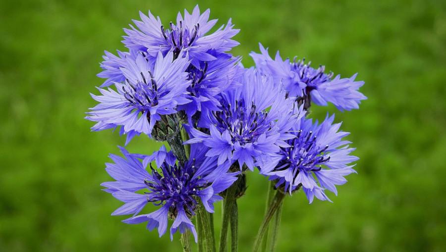 Васильки. Цветы