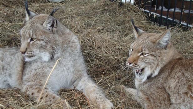 Рыси в Барнаульском зоопарке.