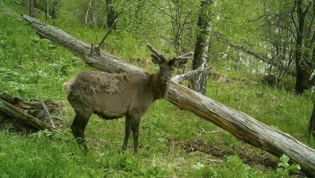 Алтайский заповедник. За этим быком наблюдения ведутся с ноября 2018 года.