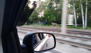 Лоси бегали по трамвайным путям в Барнауле.