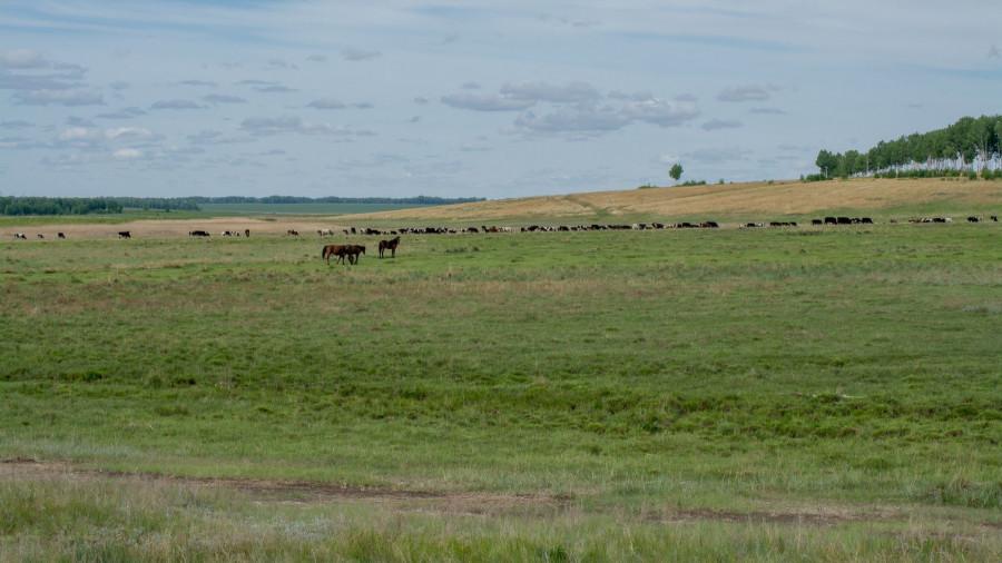 Стадо коров шипуновской колонии-поселении.