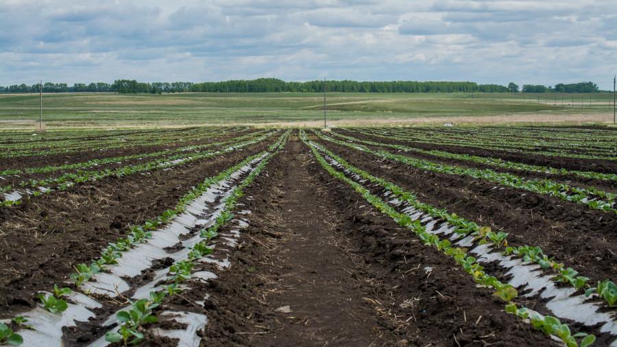 Капустное поле шипуновской колонии-поселении.