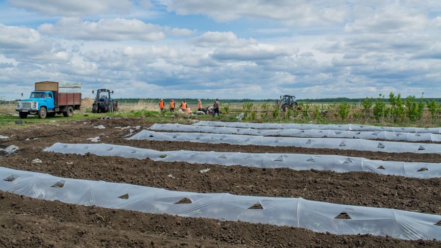 Работа на полях шипуновской колонии-поселении.