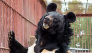 Гималайский медведь в Барнаульском зоопарке.