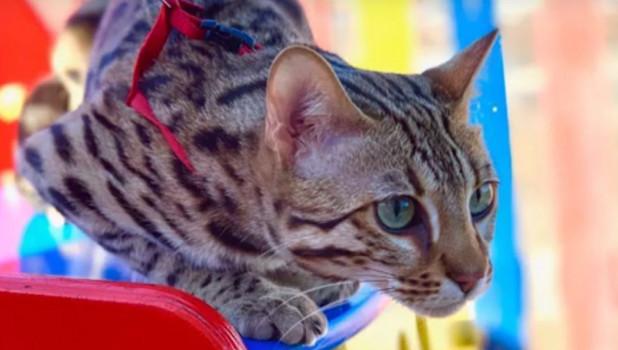 Бенгальский кот породы Ф-1.