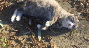 Пропал кот Хвостик без хвоста.