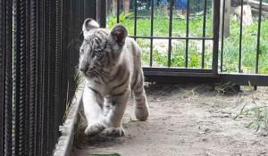 Белый тигренок в Барнаульском зоопарке.