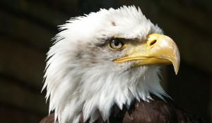Белоголовый орлан.