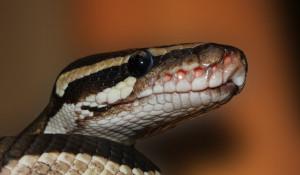 Питон, змея.