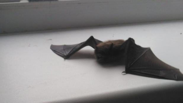 В дома барнаульцев залетают летучие мыши.