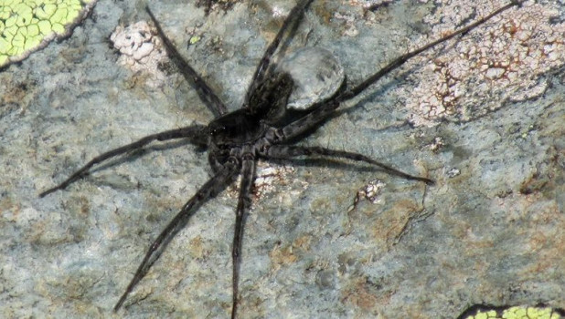 В Катунском заповеднике нашли новый вид пауков