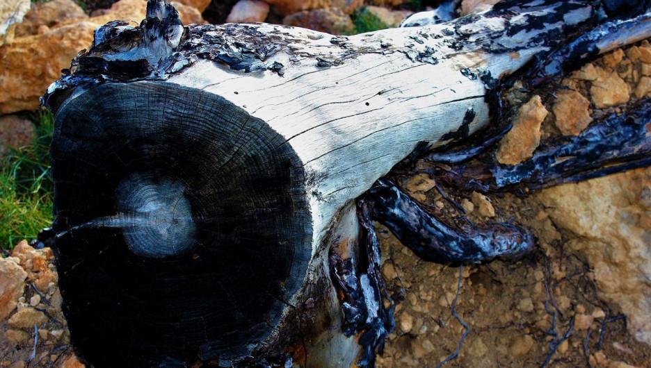 Сгорело дерево. Лесные пожары.