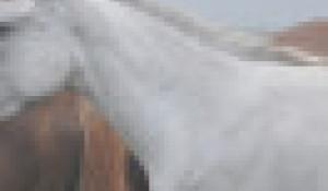 Лошади. Белый конь