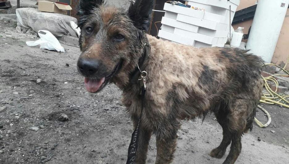 Собака, спасенная из гудрона в Барнауле.