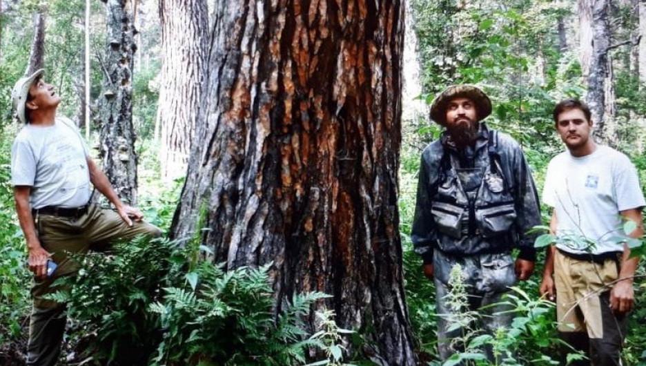 Деревья-великаны в алтайских лесах.