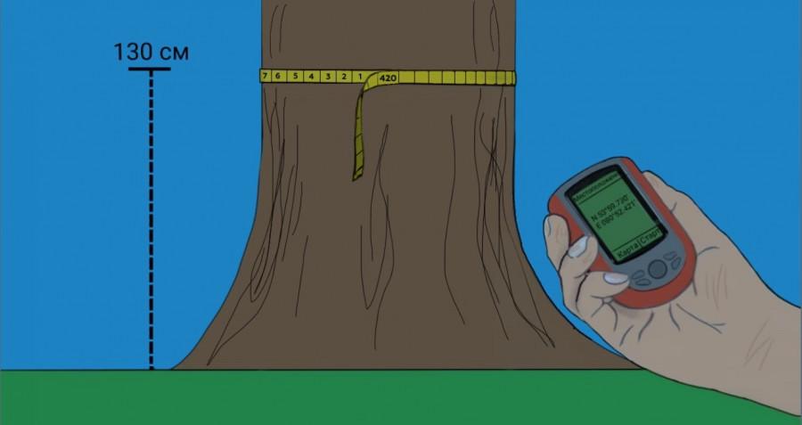 Как измерять деревья.