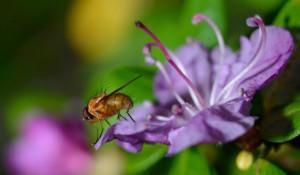 На Алтае цветет маральник.