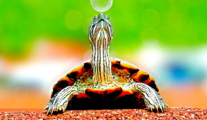 Черепаха.