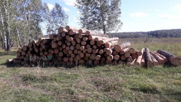 Срубленные сосны в Косихинском районе.