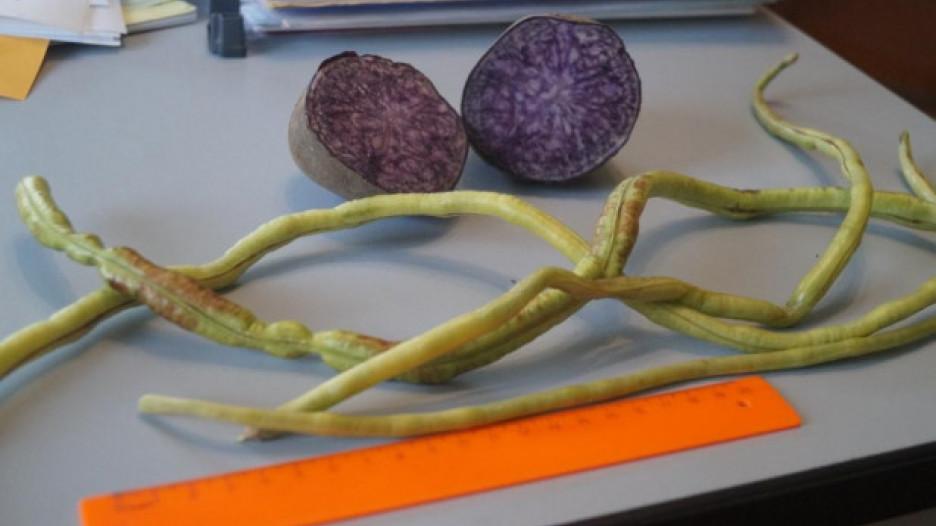 На огороде вырос уникальный фиолетовый картофель.