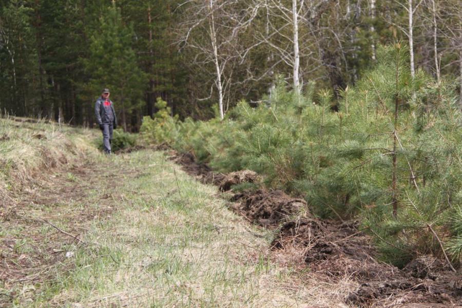 Восстановление лесных насаждений.