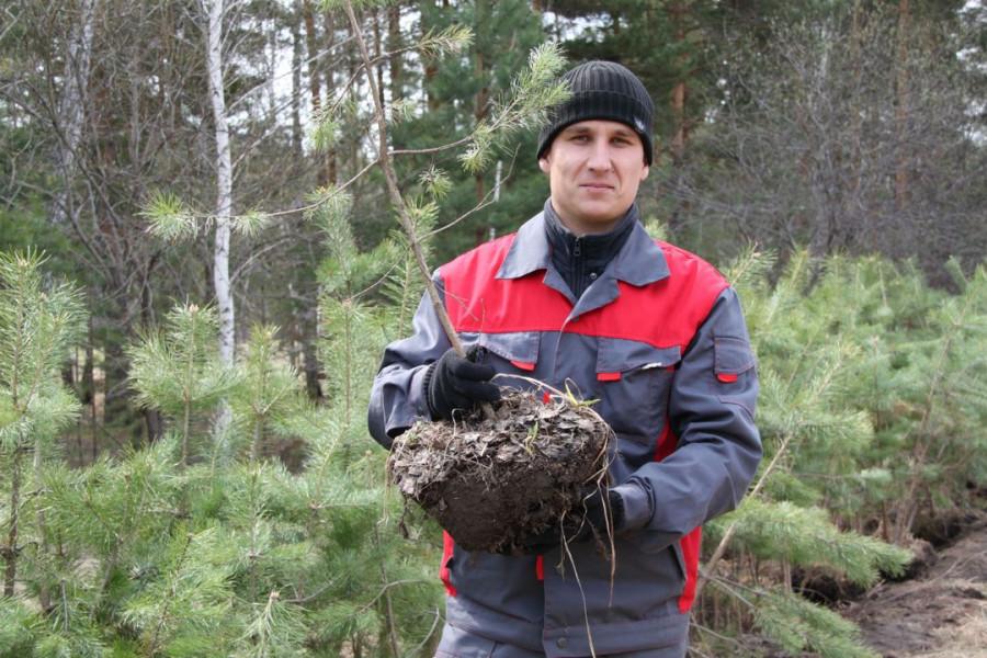 Ежегодно «Алтайлес» высаживает тысячи гектаров новых лесов.