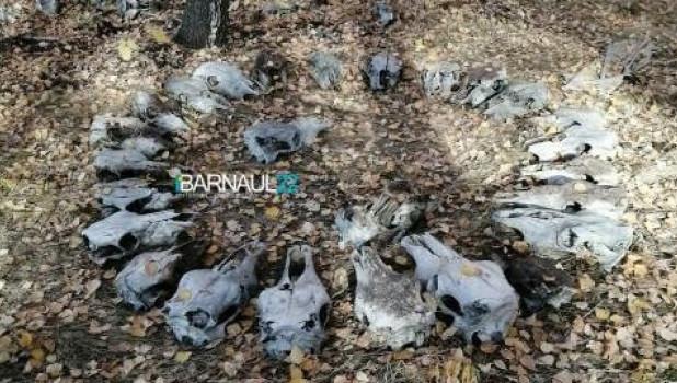 Загадочный круг из черепов в Барнауле.