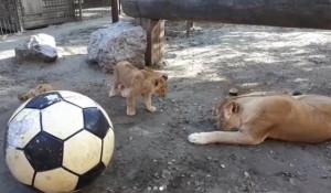 Львы играют с мячом.
