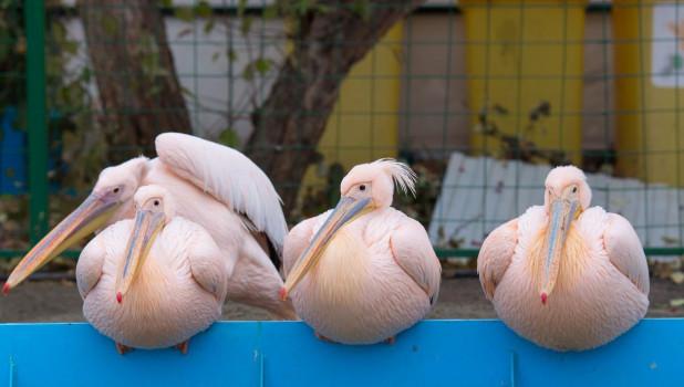 Пеликаны в Барнаульском зоопарке