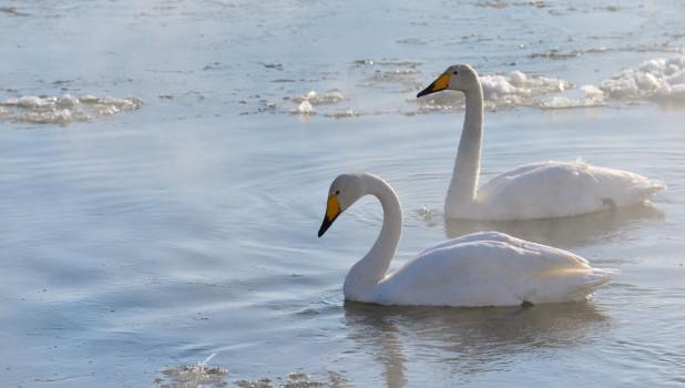 Лебеди в поселке Молодежный.