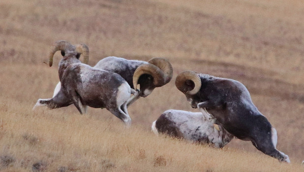 Дуэль горных баранов на Алтае