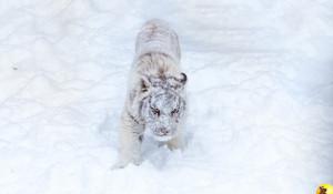 Тигры в барнаульском зоопарке резвятся в снегу.