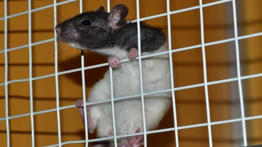 Крыса.