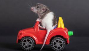Крысу учат водить автомобильчик.