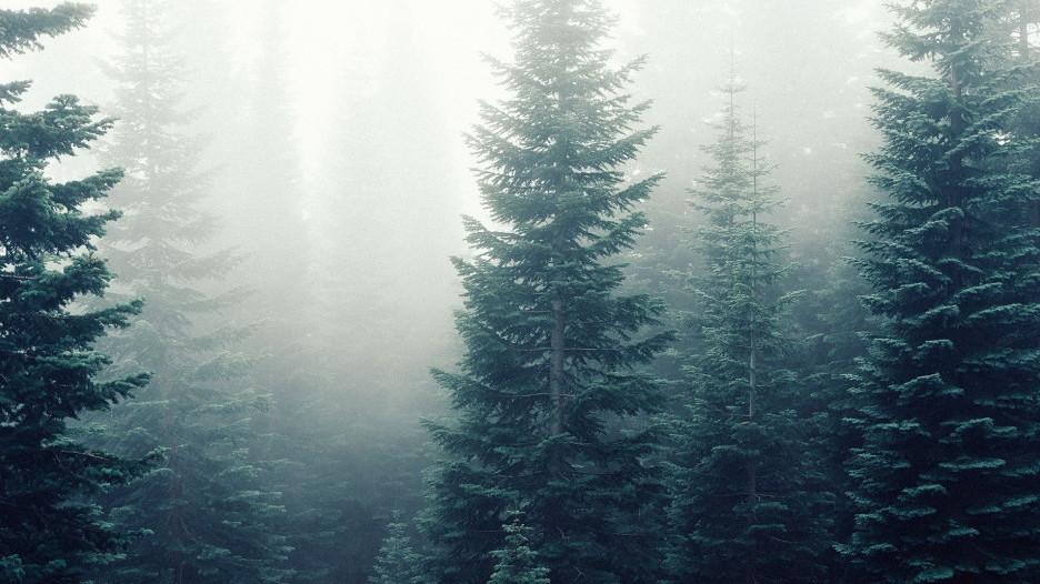 Лес. Ель