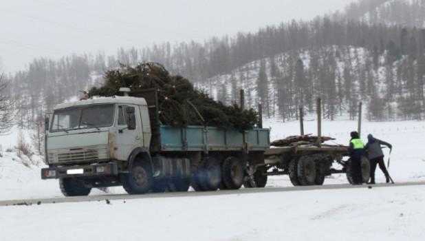 Вырубка елей в республике Алтай