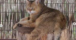 Камышовый кот Айко.