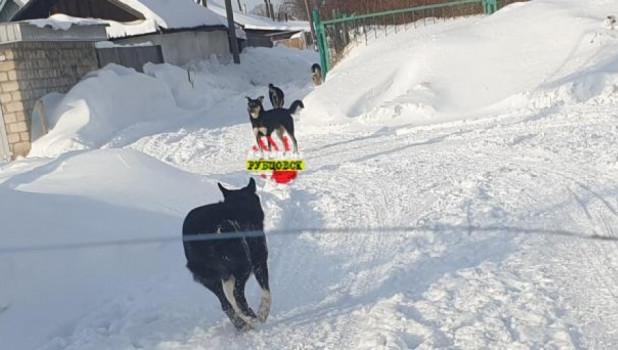 Бродячие собаки в Рубцовске