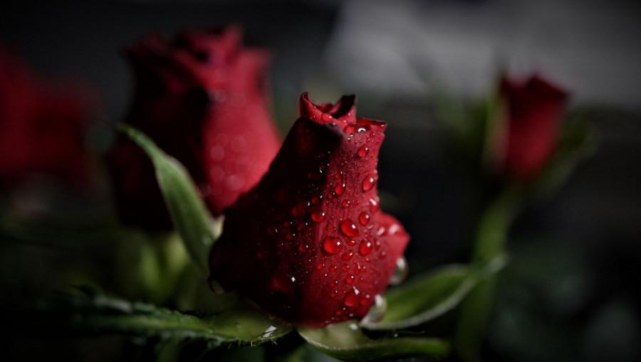 Розы. Роса