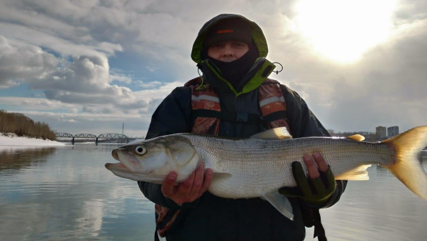 Житель Новосибирска поймал в Оби краснокнижную нельму.