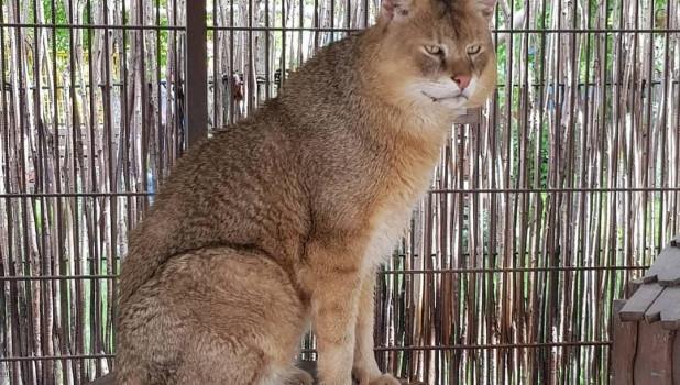 Камышовый кот в Барнаульском зоопарке.