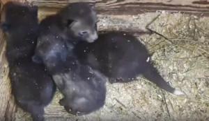 Лисята в Барнаульском зоопарке.