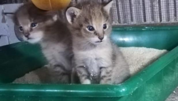 Камышовые котята в Барнаульском зоопарке.
