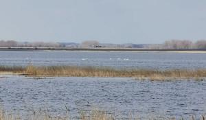 Лебеди на озере Ракиты.