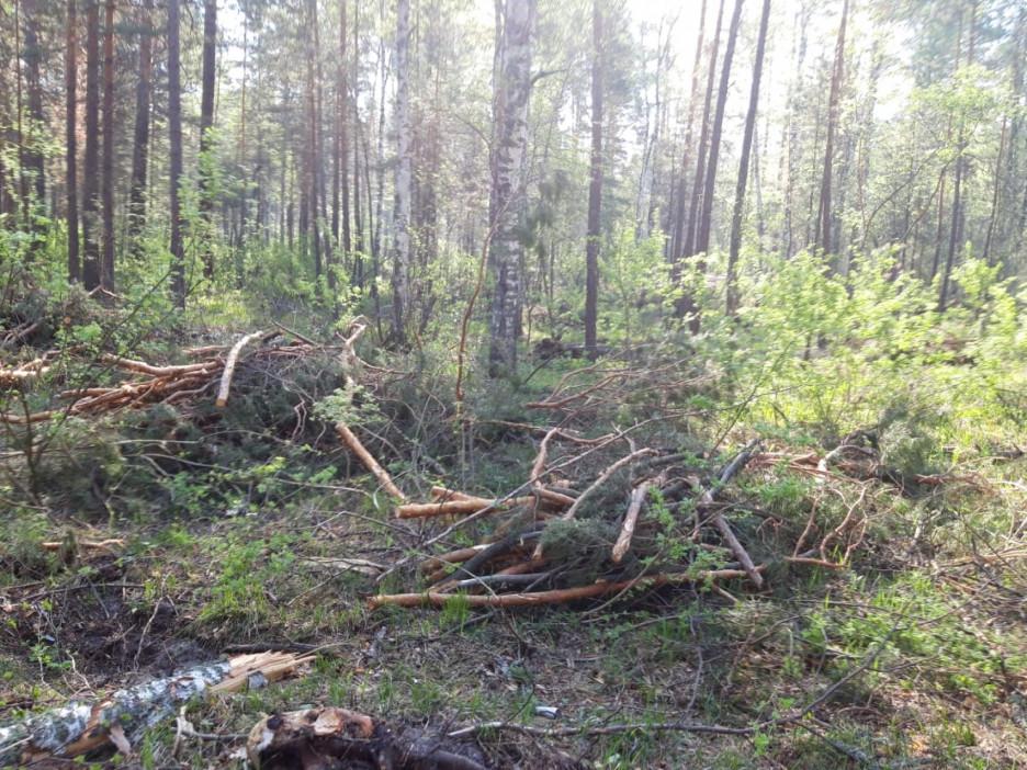 Вырубку деревьев под Барнаулом признали законной, но запретили