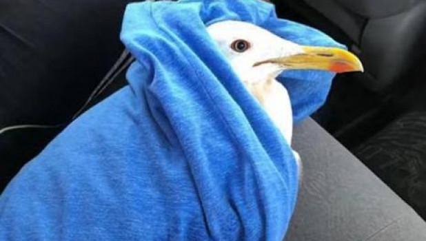 Раненая чайка едет на Алтай.