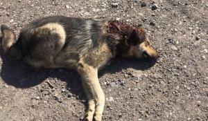 Раненый пес Патрон.