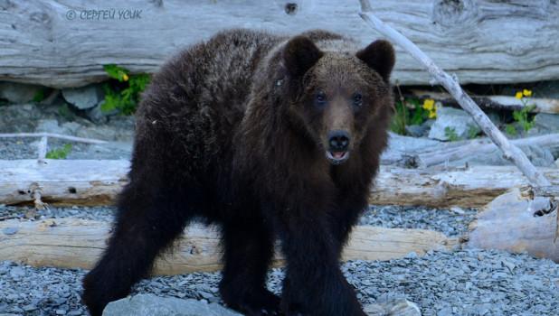 Молодой медведь на берегу Телецкого озера.